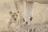 Lion (Panthera leo) cub, calling, lost and parted from mother, Masai Mara Photographic Print by Shem Compion
