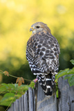Red-shouldered Hawk (Buteo lineatus) adult, hunting from fence, Florida, USA Stampa fotografica di Edward Myles
