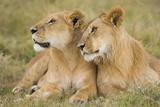 Massai Lion (Panthera leo nubica) adult female laying with immature male, Masai Mara, Kenya Fotografisk tryk af Elliott Neep