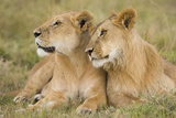 Massai Lion (Panthera leo nubica) adult female laying with immature male, Masai Mara, Kenya Photographic Print by Elliott Neep