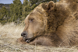 Grizzly Bear (Ursus arctos horribilis) adult, close-up of head, resting chin on front paws, Montana Photographic Print by Paul Sawer