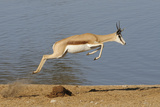 Springbok (Antidorcas marsupialis) adult, leaping beside waterhole, Etosha , Kunene Fotografisk tryk af Shem Compion