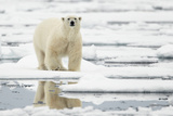 Polar Bear (Ursus maritimus) adult, standing on pack ice, Svalbard, June Photographic Print by Mark Sisson