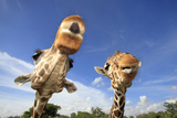 Reticulated Giraffe (Giraffa camelopardalis reticulata) two adults, close-up of heads, captive Photographic Print by Jurgen & Christine Sohns