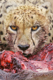 Cheetah (Acinonyx jubatus) close-up of adult, feeding, Kruger , South Africa Photographic Print by Andrew Forsyth