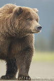 Grizzly Bear (Ursus arctos horribilis) adult, standing on sandy beach, Lake Clark , Alaska Photographic Print by Mark Sisson