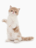 Domestic Cat, Exotic Shorthair, cream and white kitten, standing on hind legs Photographic Print by Chris Brignell