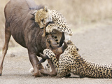 Cheetah (Acinonyx jubatus) two adults, killing Wildebeest, Kruger , South Africa Photographic Print by Andrew Forsyth