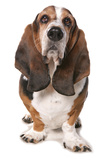 Domestic Dog, Basset Hound, adult, standing Photographic Print by Chris Brignell
