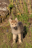 Timber Wolf (Canis lupus) eight-week old cub, standing, Montana, USA Photographic Print by Jurgen & Christine Sohns