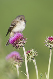 Willow Flycatcher (Empidonax traillii) adult, perched on thistle, USA Papier Photo par S & D & K Maslowski