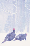 Wild Turkey (Meleagris gallopavo) two gobblers in snow storm, Ohio, USA Photographic Print by S & D & K Maslowski