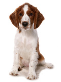 Domestic Dog, Welsh Springer Spaniel, puppy, sitting Photographic Print by Chris Brignell