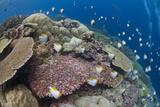 Pyramid Butterflyfish (Hemitaurichthys polylepis) shoal, Christmas Island Photographic Print by Colin Marshall
