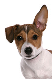 Domestic Dog, Jack Russell Terrier, female puppy, with one ear up Photographic Print by Chris Brignell