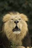 Indian Lion (Panthera leo persica) adult male, roaring, close-up of head, captive Photographic Print by Terry Whittaker