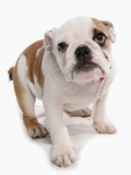 Domestic Dog, Bulldog, puppy, standing Photographic Print by Chris Brignell