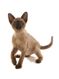 Domestic Cat, Tonkinese, brown mink, female kitten Photographic Print by Chris Brignell