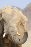 African Elephant (Loxodonta africana) adult, close-up of head, throwing sand with trunk in desert Photographic Print by Shem Compion