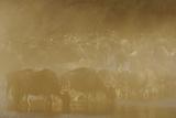 Blue Wildebeest (Connochaetus taurinus) herd, drinking, Masai Mara Photographic Print by Shem Compion