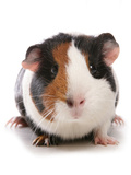 Domestic Guinea Pig (Cavia porcellus) adult Photographic Print by Chris Brignell