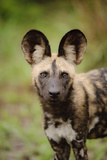 African Wild Dog (Lycaon pictus) pup, close-up of head, Kwando Lagoon, Linyanti Fotografisk tryk af Shem Compion