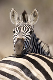 Common Zebra (Equus burchellii) adult, resting head on another adults back, Kruger , South Africa Photographic Print by Andrew Forsyth