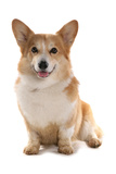Domestic Dog, Pembroke Welsh Corgi, adult, sitting Photographic Print by Chris Brignell