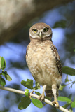 Burrowing Owl (Speotyto cunicularia) chick, perched on Live Oak (Quercus sp.) twig, Florida, USA Photographic Print by Edward Myles
