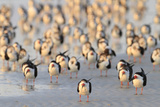 Black Skimmer (Rynchops niger) flock, resting on beach, Florida, USA Papier Photo par Edward Myles