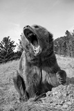 Grizzly Bear (Ursus arctos horribilis) adult, sitting with open mouth, Montana, USA Photographic Print by Paul Sawer