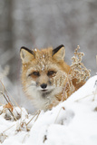 American Red Fox (Vulpes vulpes fulva) adult female, looking over snow covered hillock Photographic Print by Paul Sawer
