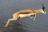 Springbok (Antidorcas marsupialis) adult, leaping beside waterhole, Etosha , Kunene Photographic Print by Shem Compion