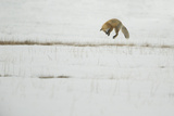 American Red Fox (Vulpes vulpes fulva) adult, hunting, jumping on prey in snow, Yellowstone Fotografisk tryk af Paul Hobson