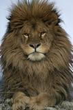 Barbary Lion (Panthera leo leo) adult male, close-up of head Photographic Print by Mike Lane