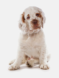 Domestic Dog, Clumber Spaniel, puppy, sitting Photographic Print by Chris Brignell