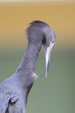 Little Blue Heron (Egretta caerulea) adult, preening, close-up of head and neck, Florida Photographic Print by Edward Myles