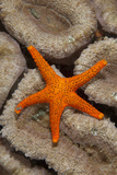 Thousand-pores Starfish (Fromia milleporella) adult, on coral, Lembeh Straits, Sulawesi Photographic Print by Colin Marshall