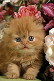 Domestic Cat, Persian, ginger kitten amongst flowers Photographic Print by Angela Hampton