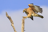 Red-shouldered Hawk (Buteo lineatus) adult, in flight, landing on dead tree, Florida Stampa fotografica di Edward Myles