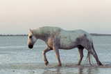 Camargue Horse, adult, walking in water at sunset, Saintes Marie de la Mer Photographic Print by Jurgen & Christine Sohns