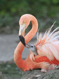 Caribbean Flamingo (Phoenicopterus ruber) adult, feeding three-day old chick on nest (captive) Photographic Print by Edward Myles