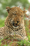 Leopard (Panthera pardus) adult male, close-up of head, Sabi Sand Game Reserve Photographic Print by Philip Perry