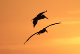 Brown Pelican (Pelecanus occidentalis) two, in flight, silhouetted at sunrise, Florida Reproduction photographique par Edward Myles