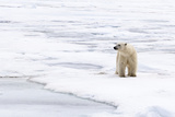 Polar Bear (Ursus maritimus) adult, standing on pack ice, Murchisonfjorden, Svalbard Photographic Print by Jules Cox