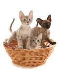 Domestic Cat, Tonkinese, blue tabby mink, three male kittens Photographic Print by Chris Brignell