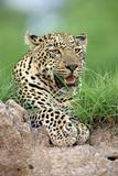 African Leopard (Panthera pardus pardus) adult, resting, Sabi Sabi Game Reserve, Kruger Photographic Print by Jurgen & Christine Sohns