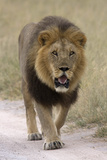 Male lion walks towards the camera Photographic Print by David Hosking