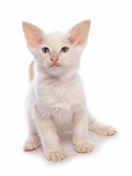 Domestic Cat, Balinese, kitten, sitting Photographic Print by Chris Brignell