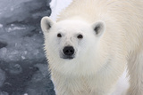 Polar Bear (Ursus maritimus) adult, close-up of head, standing on pack ice, Kong Karls Land Reproduction photographique par Kevin Elsby